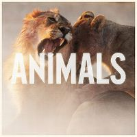 Cover Maroon 5 - Animals