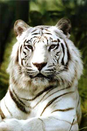 ph0205~sibirischer-tiger-poster.jpg
